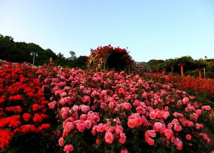 Sắc đỏ rợp trời ở thung lũng hoa hồng Sapa